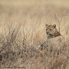 leopard - Serengeti-7