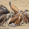 vultures - Amboseli NP - Kenya-2