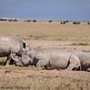 white rhino -5Lake Nakuru NP - Kenya