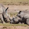 white rhino6-Lake Nakuru NP - Kenya