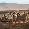 Zebra - Negorongoro NP - Tanzania