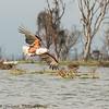 fish eagle - Lake Naivasha NP - Kenya-2