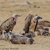 vultures - Amboseli NP - Kenya