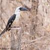 Von der Decken's Hornbill - female - Amboseli NP, Kenya-6