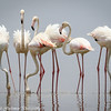 greater flamingos-3