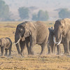 morning elephant march - Amboseli NP, Kenya-2