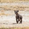 hyena pup - Amboseli NP, Kenya-4