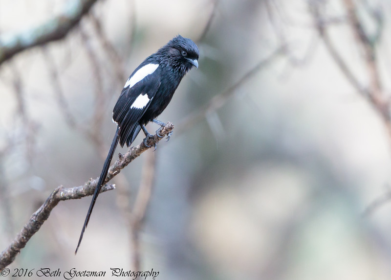 Magpie Shrike - Serengeti NP - Tanzania-7