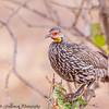 yellow-throated spurfowl - Tarangire NP - Tanzania