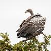 Ruppell's vulture - Serengeti NP- Tanzania