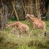giraffe nursery - Lake Nakuru NP - Kenya (2)