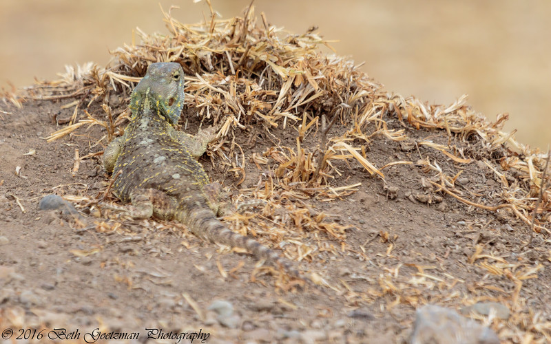 lizard - unknown - Negorongoro NP - Tanzania