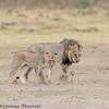 lion pair - Amboseli NP - Kenya