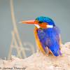 malachite kingfisher- Amboseli NP - Kenya-2