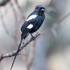Magpie Shrike - Serengeti NP - Tanzania-6