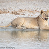 lioness by the water - Tarangere NP - Tanzania
