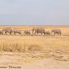 early-morning elephant march - Amboseli NP, Kenya-3