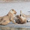 lions at play- Tarangere NP - Tanzania-4