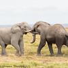 elephant tussle - Amboseli NP, Kenya-16