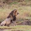 Adult male lion - Serengeti NP - Tanzania