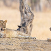 young lions - Tarangere NP - Tanzania-6