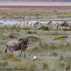 wildebeest landscape - Amboseli NP - Kenya