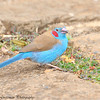 red-cheeked cordon-bleu - male- Arberdale NP - Kenya-2