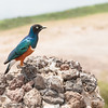 superb starling - Amboseli NP, Kenya-3