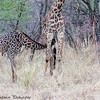 nursing giraffe calf - Serengeti NP - Tanzania