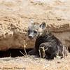 hyena pup - Amboseli NP, Kenya-2