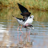 black winged stilts mating - Lake Navaisha-2