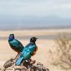 superb starling - Amboseli NP, Kenya-2