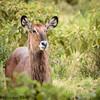 water buck - Lake Nakuru