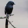 Magpie Shrike - Serengeti NP - Tanzania