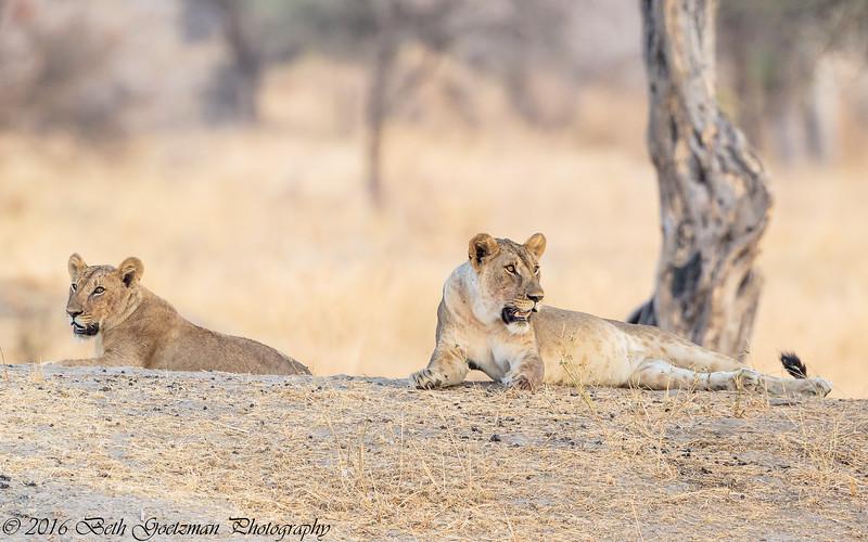 young lions - Tarangere NP - Tanzania-8