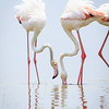 greater flamingos-5