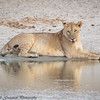 lioness by the water - Tarangere NP - Tanzania-2