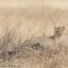 leopard - serengeti (2)