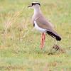 Crowned Plover - Serengeti NP - Tanzania-2