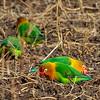 Love Birds - Serengeti NP- Tanzania-2