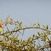 Love Birds - Serengeti NP- Tanzania-3
