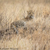 leopard - Serengeti-2