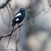 Magpie Shrike - Serengeti NP - Tanzania-4