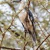 Von der Decken's Hornbill - female - Amboseli NP, Kenya-2