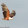 fish eagle - Lake Naivasha NP - Kenya-5