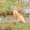 squacco heron - Amboseli NP - Kenya