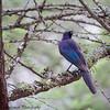 Rupell's starling - Serengeti-2