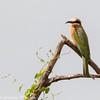 white-fronted bee eater- Lake Nakuru NP - Kenya-3