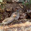 yellow-throated spurfowl - Amboseli NP, Kenya-2