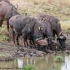 Cape Buffalo - Serengeti NP - Tanzania